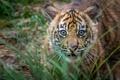 Picture grass, look, Tiger, baby, muzzle, cub, hunter, tiger, Sumatran