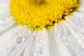 Picture macro, water, petals, Daisy, flower, drops