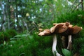 Picture grass, mushrooms, forest