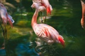 Picture rtica, feathers, water, Flamingo, pink