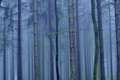 Picture fog, trees, trunk, forest