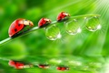 Picture GREEN, DROPS, THREE, TRIO, LADYBUG, REFLECTION, ROSA, STEM, LIGHT, RAYS, SURFACE, WATER, BACKGROUND