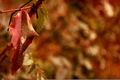 Picture red, macro, sheet, blur, autumn