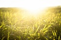 Picture light, nature, the sun, grass, plant, sunset