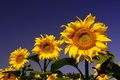 Picture the sky, yellow, sunflower