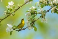 Picture flowers, branch, bird, flowering, penectomy songster, spring