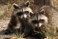 Picture twins, raccoons, a couple