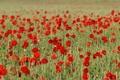 Picture flowers, petals, field, meadow, Maki, grass
