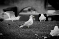 Picture seagulls, beak, b/W