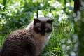 Picture Shorthair, grass, British, cat