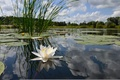 Picture algae, water, reflection, Lily