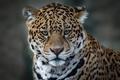 Picture look, face, predator, Jaguar