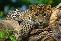 Picture leopard, look, face, wild cat