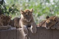 Picture family, the cubs, stay, zoo, cubs, trio, wild cats