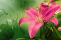 Picture Flowers, Beautiful, Lily