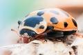 Picture black, orange, ladybug, Insect