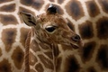 Picture cub, a Rothschild giraffe, Giraffa camelopardalis rothschildi
