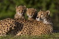 Picture cheetahs, kittens, cubs