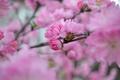 Picture beauty, petals, flowering, Sakura, spring, pink