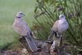Picture birds, nature, tree, stump, pair, pigeons