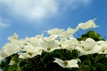 Picture the sky, petals, flowering, dogwood