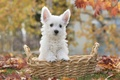 Picture basket, puppy, leaves