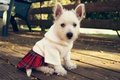 Picture eyes, face, Board, sweetheart, clothing, puppy, girl, portrait, autumn, white, mood, skirt, leaves, blouse, chair, ...