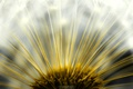 Picture the sun, dandelion, Flufenamic