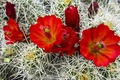 Picture flowers, flowers, red, cactus, Cactus, red