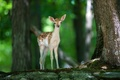Picture animal, Bambi, nature, fawn, forest, deer