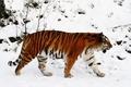 Picture taiga, snow, Tiger, winter