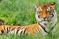 Picture grass, tiger, stay