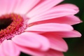 Picture flowers, macro photography, macro photo, petals pink, nature, nature