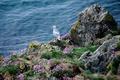 Picture flowers, sea, bird, grass, rocks, Seagull, Seagull