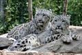 Picture pair, cat, IRBIS, stones, snow leopard