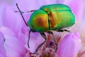 Picture macro, flowers, green, beetle, brilliant, Wallpaper from lolita777