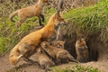 Picture Nora, Fox, kids, motherhood, cubs, cubs