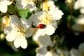 Picture ladybug, spring, Apple, blossom, Spring