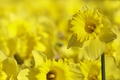 Picture yellow, background, daffodils