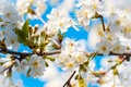 Picture the sky, flowers, tree, blue, spring, buds