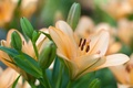 Picture macro, Lily, peach