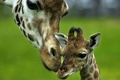 Picture love, tenderness, baby, giraffe, care, mom