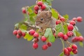 Picture berries, macro, branch, mouse, hawthorn, Bank vole, rodent