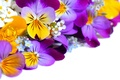 Picture flowers, Pansy, white background, yellow, Viola, garden, violet