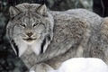Picture lynx, eyes, forest, winter