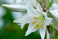 Picture droplets of dew., Lily, white, flower