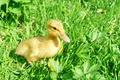 Picture summer, grass, duck
