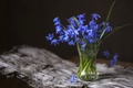 Picture Scilla, spring, primrose