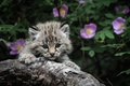 Picture eyes, leaves, kitty, grey, background, Cat, claws, hunting, Kamini, the flowers look