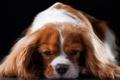 Picture muzzle, breed, Spaniel